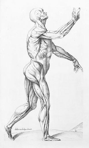 Second Muscular Tabula, Thomas Geminus. Anatomy (16th Century). Work ID: qtjwr5yy.