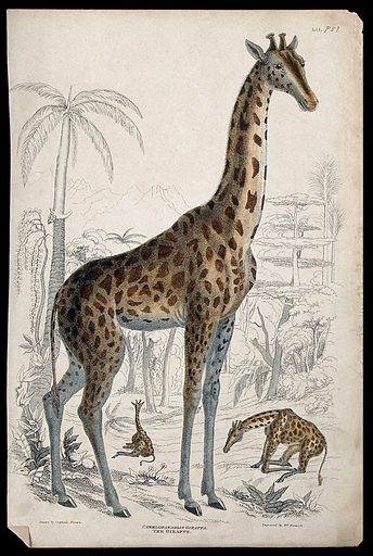Three giraffes shown in their natural habitat
