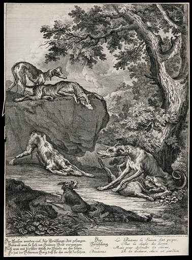 "A dog is sitting with its forelegs over a just bagged hare outside a forest while he is surrounded by dogs on the ground and on a rock. Etching by J E Ridinger. The dog is a so called ""Schirmerhund"" and is especially trained to save the prey from being devoured by the other dogs. Contributors: Johann Elias Ridinger (1698–1767). Work ID: mgdteh6q."