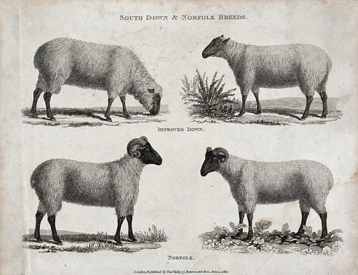 A ram and ewe of the South Down and Norfolk breeds of sheep. Etching, ca 1822. Created 1 June 1822. Cattle. Livestock – Breeding. Domestic animals. Livestock breeds. Rams. Ewes. Work ID: ytvy3rzq.
