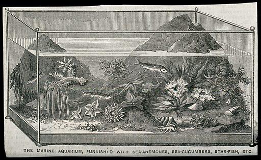 A marine aquarium furnished with sea-anemones, sea-cucumbers and starfish