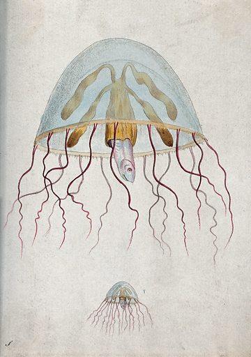 Above, a marine mollusc divulging a fish; below, a marine mollusc divulging a fish. Coloured etching. Work ID: xqebq6cq.