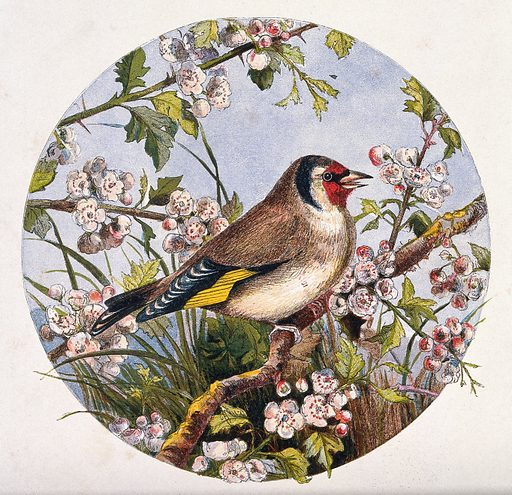 A goldfinch on a branch of cherry blossom