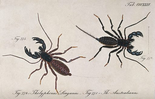 Two scorpions: Thelyphonus linganus and Thelyphonus australianus. Coloured engraving. Scorpions. Work ID: hqsczcp5.