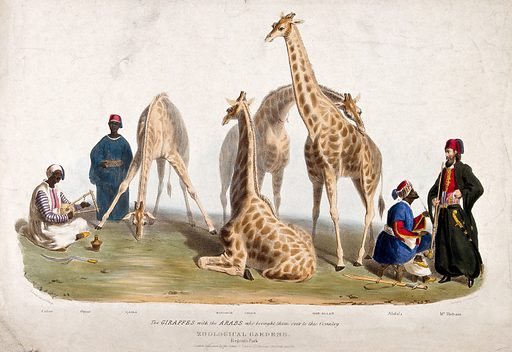 Zoological Society of London: three giraffes surrounded by men in arabic costume