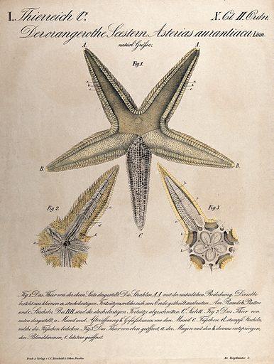 A starfish: three figures