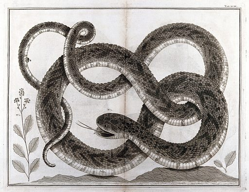 Snake. Etching, 18 – ?. Created between 1800 and 1809–?. Reptiles. Snakes. Work ID: b8kzhf2c.