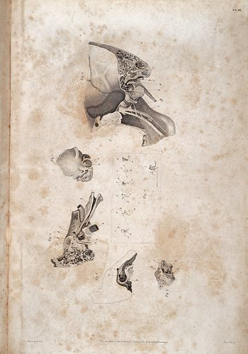 Anatomy of the ear, John Cunningham Saunders, 1806. Anatomical illustration of the human ear showing Fig 1) Foetus Os Temporis. Fig 2) Individual bones which form chain of connection between the Membrana Tympani and Membrane of the Vestibule. Fig 3) Exterior portion of the Mastoid process and Tympanum. Fig 4) Interior portion of the Mastoid process. Fig 5) Interior Superficies of the Tympanum dissected to show Stapedeus Muscle and the Canal of Bone which lodges the Tensor Membranae Tympani. Fig 6) Skeleton of the interior superficies of the Tympanum (the Mastoid Cells being in outline) that the Fenestra Ovata and Fenestra Rotunda may be seen. Work ID: ycwfr4nx.