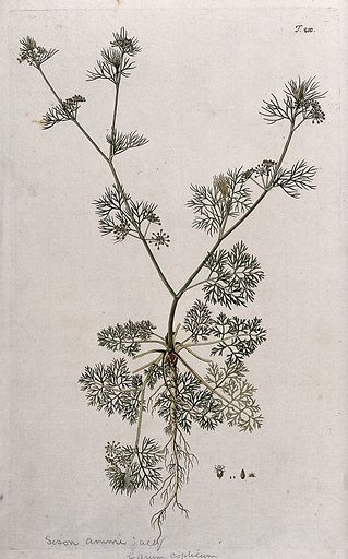 A plant (Sison ammi Jacq.) related to hedge sison: entire flowering and fruiting plant with separate flower and fruit. Coloured engraving after F von Scheidl, 1772. Hedge sison = Sison amomum. Created 1772. Botany – Vienna (Austria) (- 18th century). Botanical gardens – Vienna (Austria). Plants – Vienna (Austria). Umbelliferae. Herbs. Contributors: Franz Anton von Scheidl (1731–1801); Nikolaus Joseph Jacquin, Freiherr von (1727–1817). Work ID: frtbs4mn.