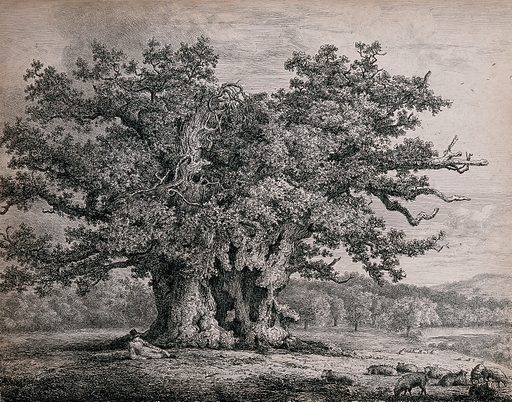 A gnarled and hollow old oak tree (Quercus robur L) sheltering a shepherd and his sheep