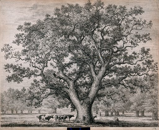 A large oak tree (Quercus robur L) sheltering cattle in open parkland