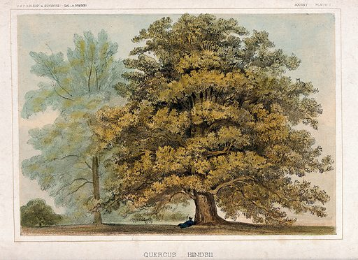 Oak tree with person lying at its base