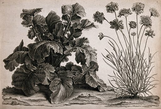 Two plants, one possibly scabious (Scabiosa species). Etching. Botany. Plants. Dipsacaceae. Scabiosa. Work ID: x5kw46me.