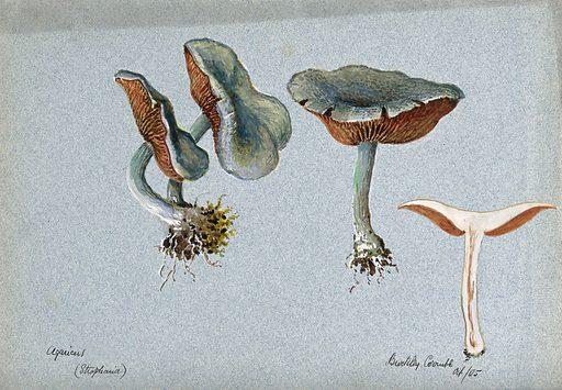 A fungus (Stropharia aeruginosa): four fruiting bodies, one sectioned. Watercolour, 1905. Created 1905. Botany – England – History (- 20th century). Fungi – England. Mycology – England – History (- 20th century). Mushrooms. Strophariaceae. Toxigenic fungi. Work ID: wcvk369k.