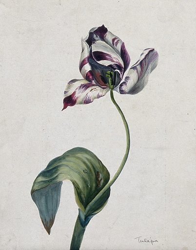 Purple striped tulip (Tulipa species): flower and leaves. Watercolour. Work ID: vg9mj386.