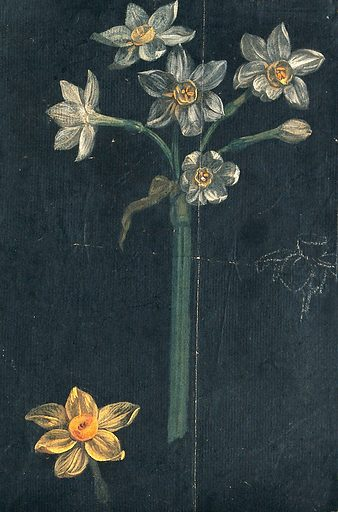 Daffodil (Narcissus species): flowering stem with separate flower