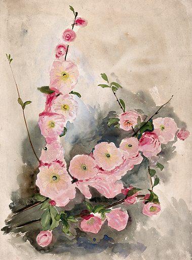 Blossom of an ornamental cherry (Prunus species)