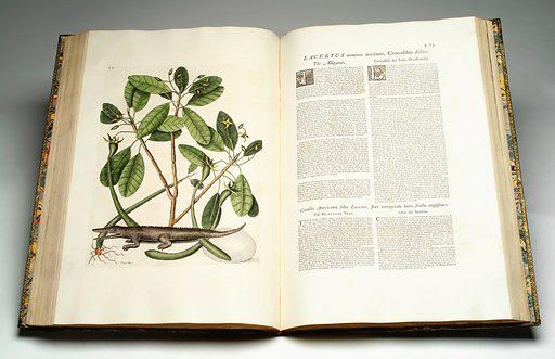 Illustration showing Lacertus omnium maximus, Crocodilus: The Alligator. Fauna. Flora. Wildlife. Flower. Work ID: uqr2vpya.