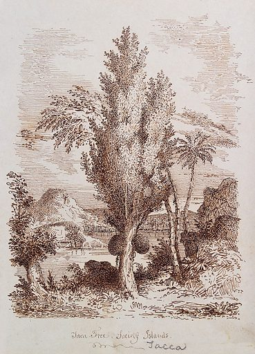 Jak tree (Artocarpus heterophyllus) with fruit in the Society Islands. Pen drawing. Botany – Society Islands. Plants – Society Islands. Tropical plants. Trees. Palms. Moraceae. Fruit trees. Tropical fruit. Island plants. Society Islands (French Polynesia). Islands of the Pacific. Work ID: a84mu9de.
