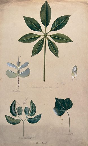 Various leaf forms, including succulent and compound. Watercolour by H Cowell. Plant morphology. Leaves – Morphology. Succulent plants. Horse chestnut. Hippocastanaceae. Aesculus. Ivy. Mimosa. Mimosaceae. Leaves. Contributors: Helen. Cowell. Work ID: ej998x4p.