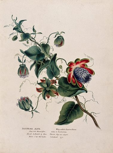 Passion flower (Passiflora alata): flowering stem. Watercolour, ca 1850 (?). Botany. Plants. Cultivated. Plants. Ornamental. Plants. Passifloraceae. Passiflora. Tropical plants. Tendrils. Flowers. Work ID: a2qbugvp.