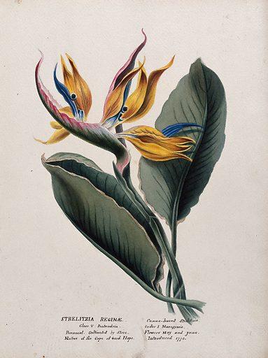 Bird-of-paradise plant (Strelitzia reginae): flower and leaf. Watercolour, ca 1850 (?). Bird-of-paradise flower is also known as the crane flower. Botany. Plants. Cultivated. Plants. Ornamental. Plants. Flowers. Work ID: cw2z9r3j.