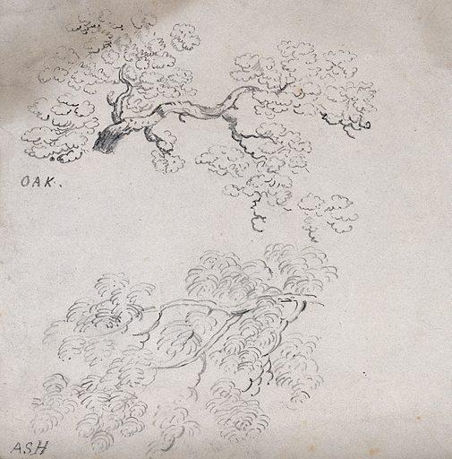 Branches of oak (Quercus) and ash (Fraximus) trees. Pencil drawing. Botany. Plants. Oak. Fagaceae. Ash (Plants). Oleaceae. Work ID: xp5zt4mk.