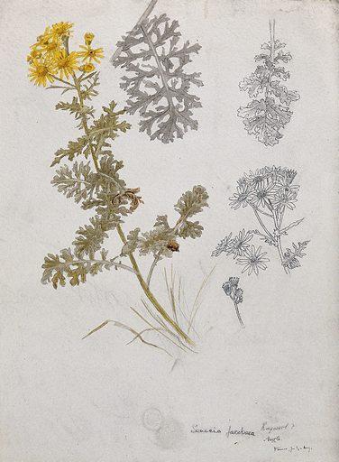 Ragwort (Senecio jacobaea): flowering stem, flowers and leaves. Pen and watercolour drawings. Botany. Plants. Weeds. Livestock poisoning plants. Senecio. Compositae. Work ID: rzvmzpyz.