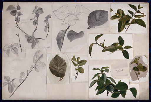 Leaves and twigs of elm (Ulmus) and privet (Ligustrum). Watercolour and pencil drawings. Botany. Plants. Leaves. Twigs. Elm. Oleaceae. Ulmaceae. Work ID: g7pur93b.