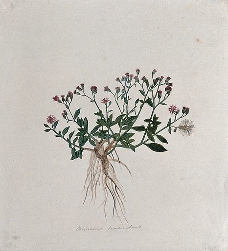 A plant (Chrysocoma procumbens): entire flowering plant. Watercolour. Work ID: nmkztx5n.