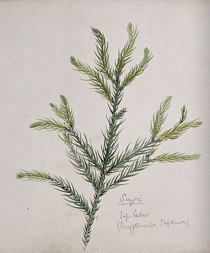 Japanese cedar (Cryptomeria japonica): branch with leaves. Watercolour by S Kawano. Japanese cedar is much grown for timber. Botany – Japan. Plants – Japan. Evergreens. Taxodiaceae. Cryptomeria. Cryptomeria japonica. Cultivated. Plants. Useful. Plants. Contributors: S Kawano. Work ID: ruaafd7m.