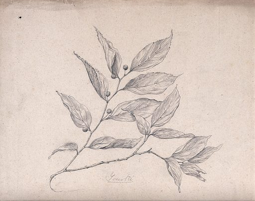 A Japanese plant (yenoki): branch with leaves and fruit. Pencil drawing by S Kawano. Botany – Japan. Plants – Japan. Leaves. Contributors: S Kawano. Work ID: wffzcgpt.
