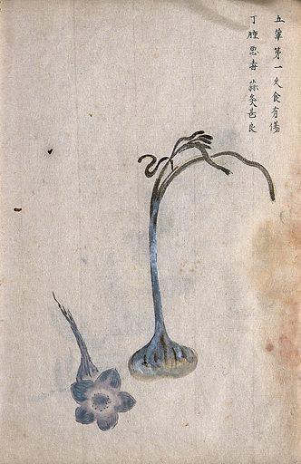 Garlic (Allium sativum): bulb, leaves and separate flower. Watercolour. Work ID: j3sx3zfm.