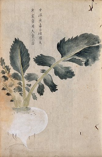 Turnip (Brassica rapa): root and leaves