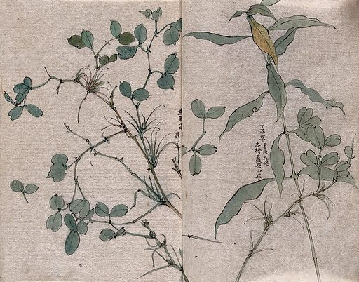 Two plants, one possibly in the Leguminosae family. Watercolour. Botany – Japan. Plants – Japan. Legumes. Pods (Botany). Work ID: ab2hr646.