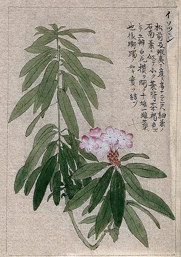 A flowering plant stem. Watercolour. Work ID: xa3vj4jw.
