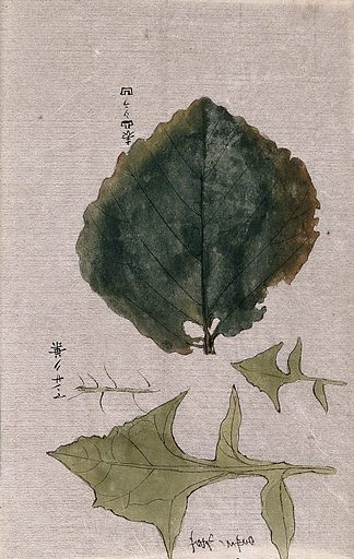 A creeping leafy plant stem. Watercolour. Work ID: cxgvd4mt.