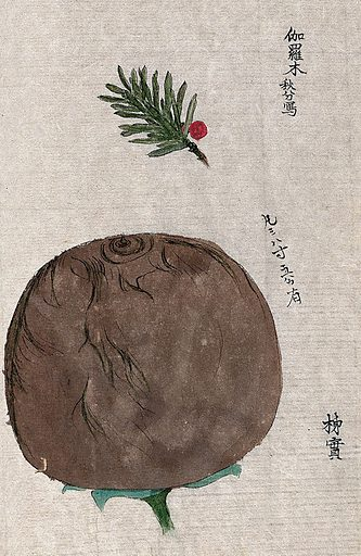 Japanese persimmon fruit (Diospyros kaki) and a leafy stem of yew (Taxus species). Watercolour. Work ID: rpnhhz2p.