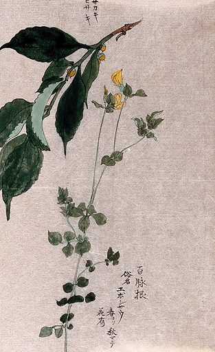 Two plants, a flowering trefoil (Lotus species) and a fruiting Styrax species. Watercolour. Work ID: qrjxghxa.