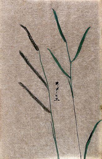Barnyard millet (Echinochloa frumentacea): seedheads and leafy stem. Watercolour. Work ID: k4agsx35.
