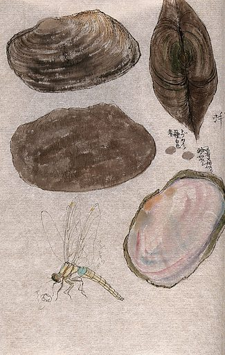 Four mussel shells, one with the contents exposed, and a dragonfly. Watercolour. Work ID: k29dcvw5.