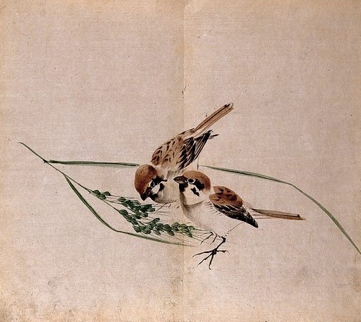 Two sparrows pecking at a seedhead of corn. Watercolour. Botany – Japan. Plants – Japan. Birds – Japan. Sparrows. Passeridae. Crops. Forage plants. Grasses. Seeds. Work ID: ksmttdpv.