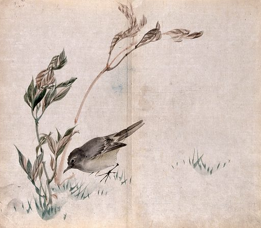 A bird, possibly a chiffchaff, pecking at the base of a leafy plant. Watercolour. Botany – Japan. Plants – Japan. Birds – Japan. Chiffchaff. Sylviidae. Work ID: szdafqut.