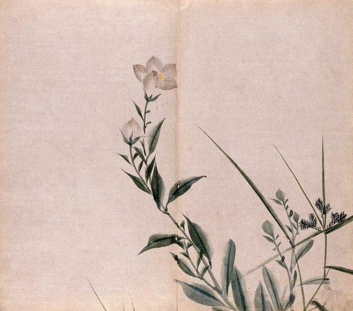 A campion plant (Silene species): flowering stem. Watercolour. Botany – Japan. Plants – Japan. Caryophyllaceae. Silene. Work ID: d4rnserz.