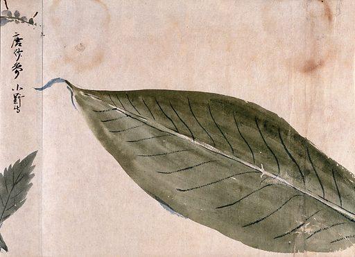 A large leaf. Watercolour, c 1870. Created 1870. Botany – Japan. Plants. Leaves. Work ID: gvmqa5f6.