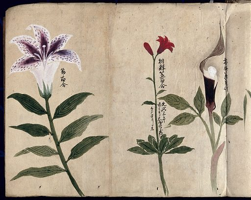 Three flowering plants, possibly including a lily and a species of Dracunculus. Watercolour, c 1870. Created 1870. Botany – Japan. Plants. Araceae. Liliaceae. Work ID: tzu8788d.