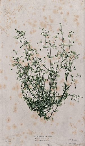 Three-nerved sandwort (Arenaria trinervis): flowering plant. Colour nature print by H Bradbury. Created c 1867. Botany – England (- 19th century). Plants – England. Caryophyllaceae. Sandworts. Contributors: Henry Bradbury (1831–1860); Bradbury & Evans. Work ID: vfpzh98a.