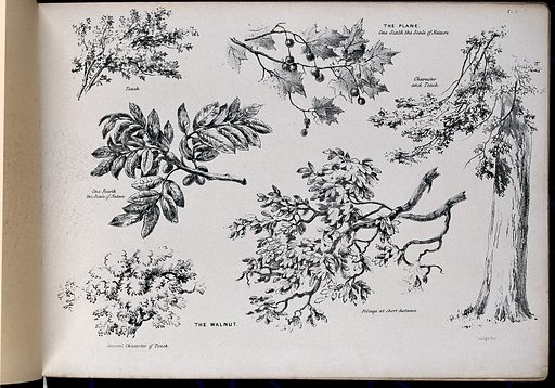 Six pictures of foliage illustrating the general character of two trees – the plane (Platanus species) and walnut (Juglans regia). Lithograph after G Barnard, c 1849. Created 1849. Botany (- 19th century). Cultivated. Plants. Ornamental. Plants. Trees. Ornamental trees. Platanaceae. Plane-tree. Juglandaceae. Walnut. Nut trees. Leaves. Foliage plants. Nuts. Tree trunks. Plant morphology. Contributors: George Barnard (-1890). Work ID: uy2ex8v8.