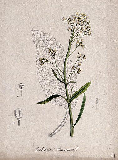 Horse radish (Armoracia rusticana): flowering stem, leaf and floral segments. Coloured lithograph after M A Burnett, c 1843. Contributors: MA Burnett. Work ID: qtx5vvcz.