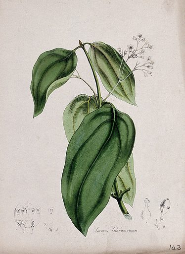 Cinnamon tree (Cinnamomum verum): flowering and leafy stem with floral sections. Coloured lithograph after M A Burnett, c 1843. Contributors: MA Burnett. Work ID: d7r3237x.
